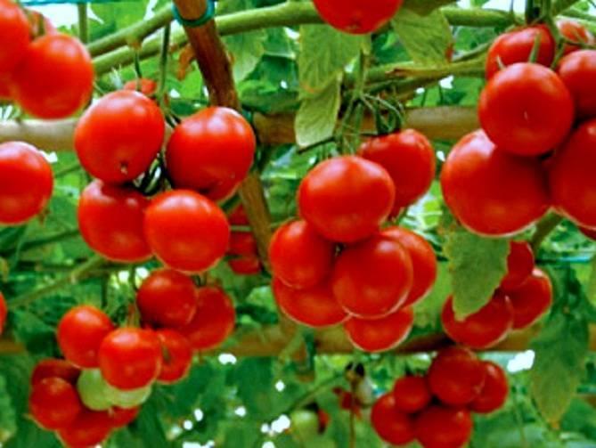 Томат яблонька россии: характеристика и описание сорта, пошаговая инструкция по выращиванию помидоров и советы фермеров