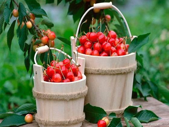 Описание и характеристика сорта карликовой вишни зимний гранат