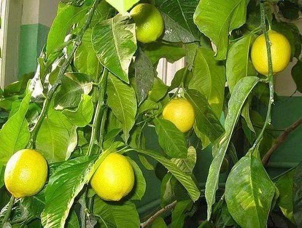 Жёлтым должен быть лимон, а не его листья