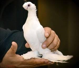 Особенности узбекских двухчубых голубей - мыдачники