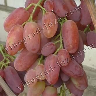 Виноград виктор — один из самых популярных гибридов селекции крайнова