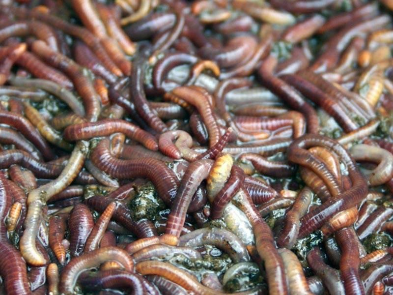 Дождевые черви, калифорнийские черви: нужны ли они на наших грядках? - домоводство  - медиаплатформа миртесен