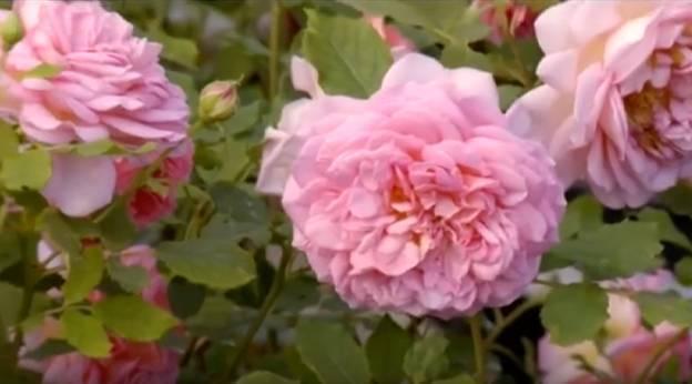 Пионовидная роза: посадка и уход в открытом грунте в саду