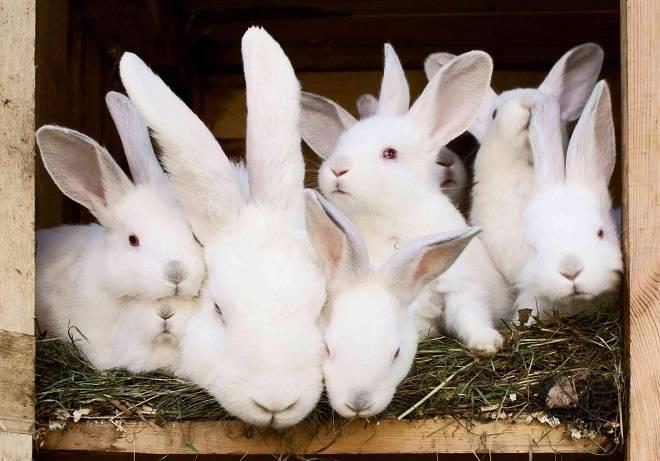 Поведение крольчихи перед окролом: за сколько дней готовит гнездо и уход