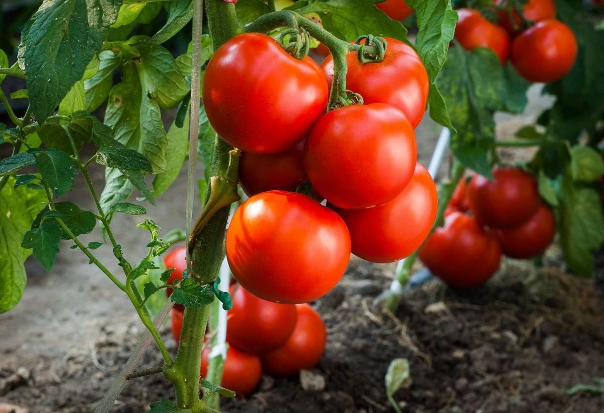 Посадка томатов в улитку на рассаду