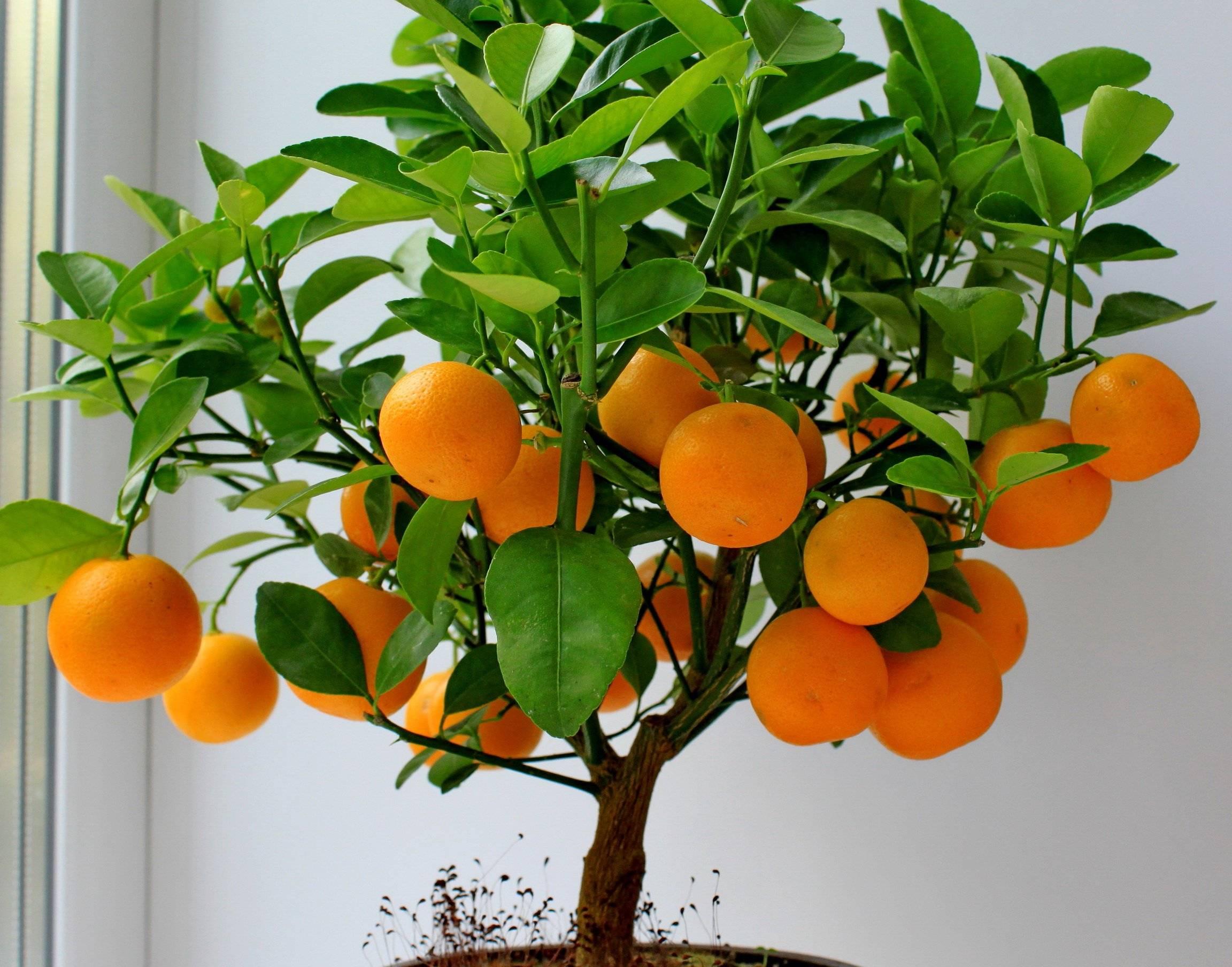 Как получить урожай апельсинов в квартире на supersadovnik.ru