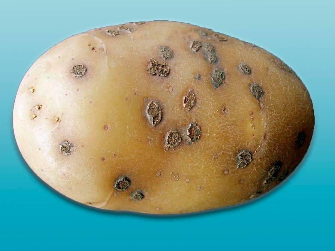 Парша картофеля и методы борьбы с ней - мыдачники