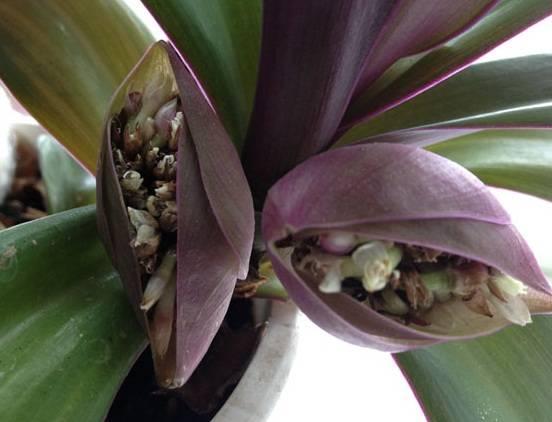 Цветок рео: уход в домашних условиях и методы размножения