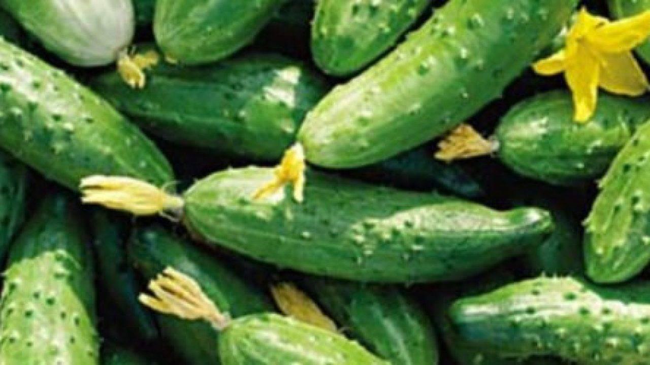 Любимый огородниками пчелоопыляемый сорт огурцов «изящный» для выращивания в теплице и открытом грунте