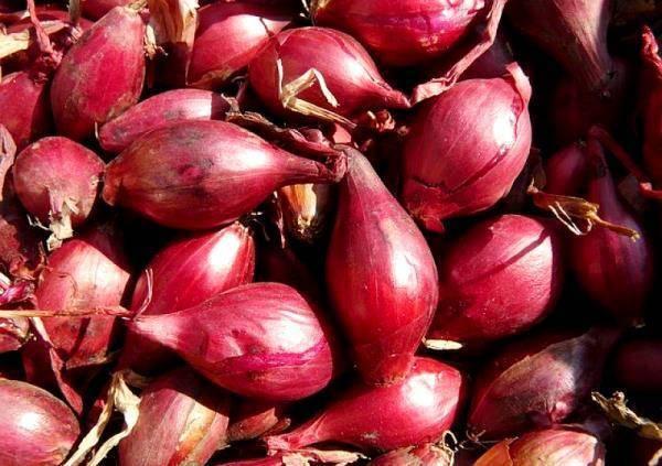 Красный репчатый лук с нежным вкусом – даниловский. описание сорта и особенности выращивания