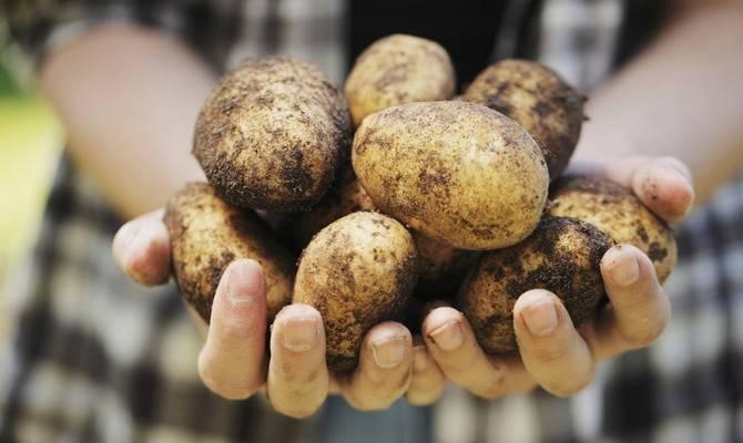 Картофель «синеглазка»: характеристика и описание с фото