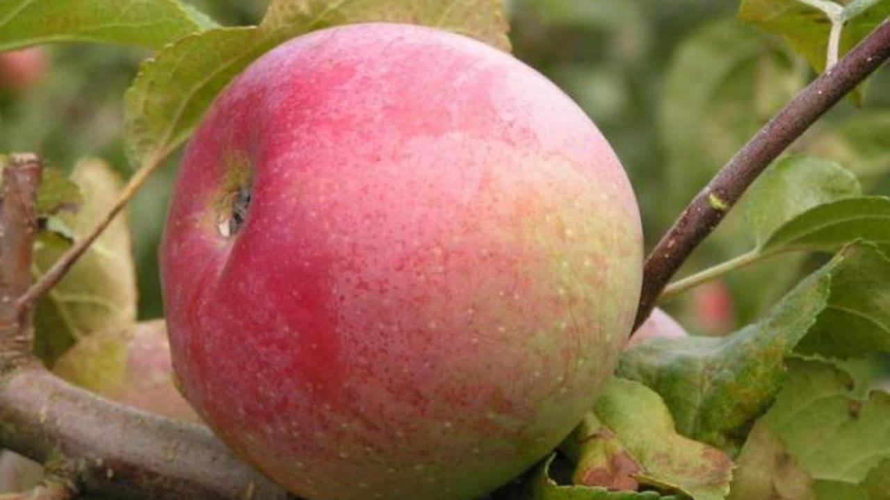 Яблоня ветеран: описание сорта и характеристики, посадка, выращивание и уход с фото