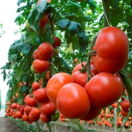 Томат махитос: описание и характеристика, отзывы, фото, урожайность   tomatland.ru