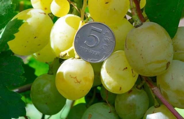 """Подробное описание сорта винограда """"белое чудо"""""""