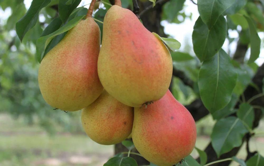Сорт груши чижовская, описание, характеристика и отзывы, особенности выращивания