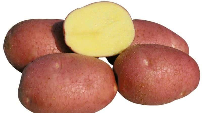 Картофель агата: описание сорта, характеристика, фото русский фермер