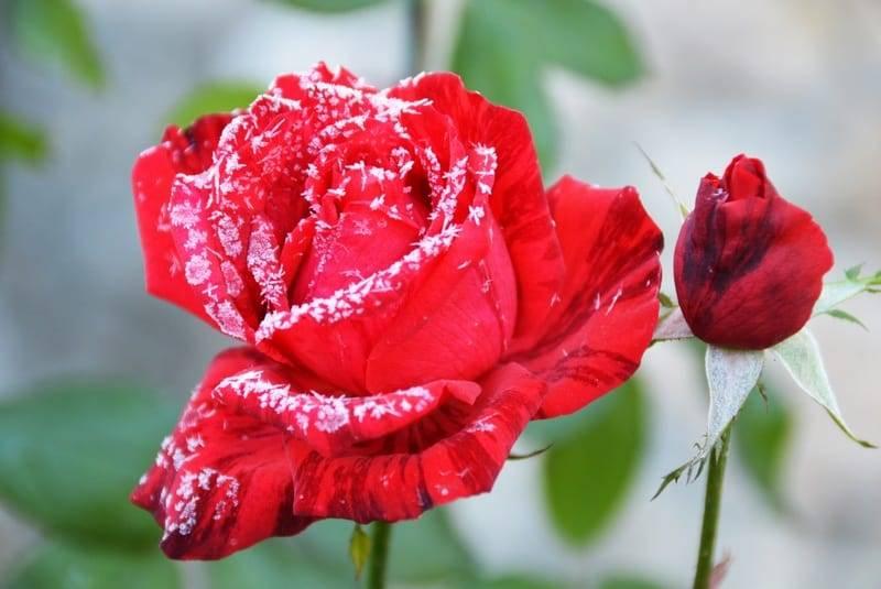 Как укрывать розы на зиму — в средней полосе, подмосковье, сибири, на урале и других регионах