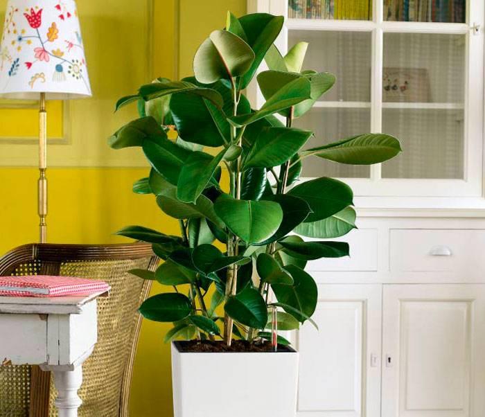 Фикус робуста (25 фото): особенности ухода за фикусом эластика в домашних условиях. чем отличается цветение каучуконосного фикуса в природе?