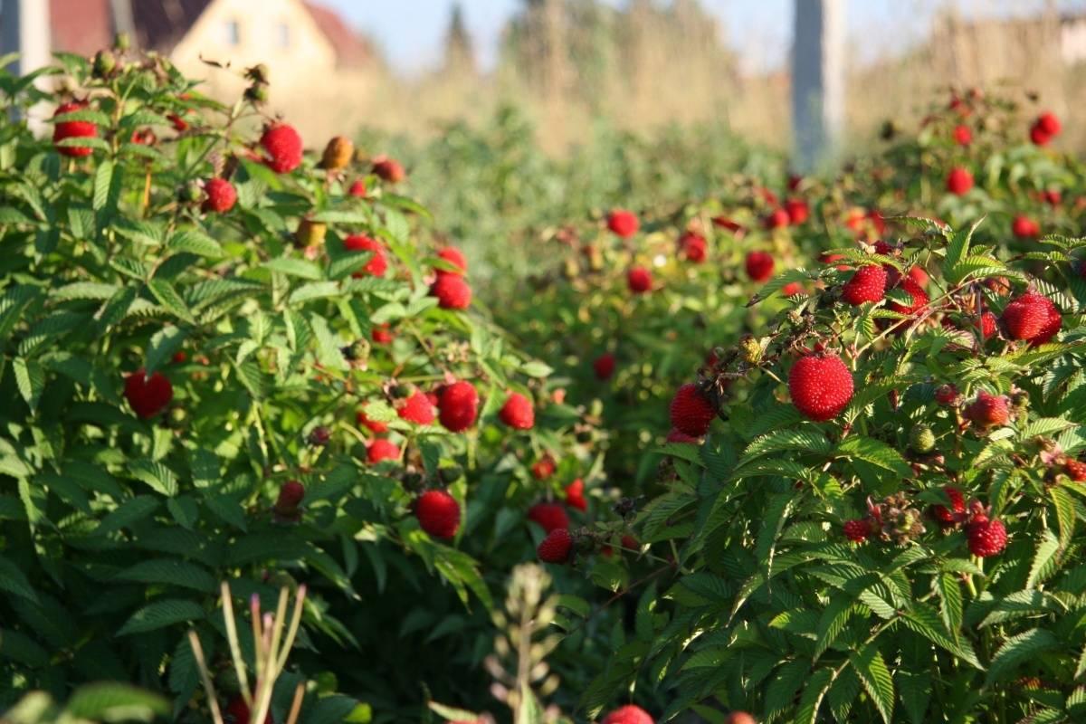 Особенности выращивания тибетской малины