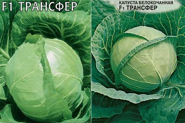 Описание капусты трансфер - мыдачники