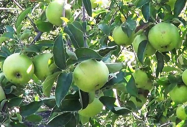 Яблоня симиренко: описание сорта, калорийность, хранение яблок