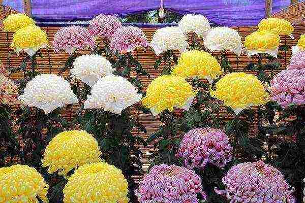 Хризантема в горшке: как ухаживать за комнатной хризантемой