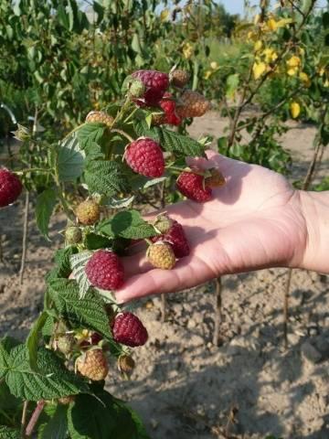 Малина геракл: описание сорта с характеристикой и отзывами, особенности посадки и выращивания и ухода, фото