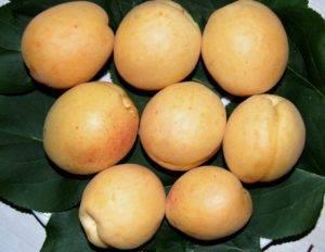 Колонновидные абрикосы - находка для садовода. как выращивать колонновидные абрикосы?