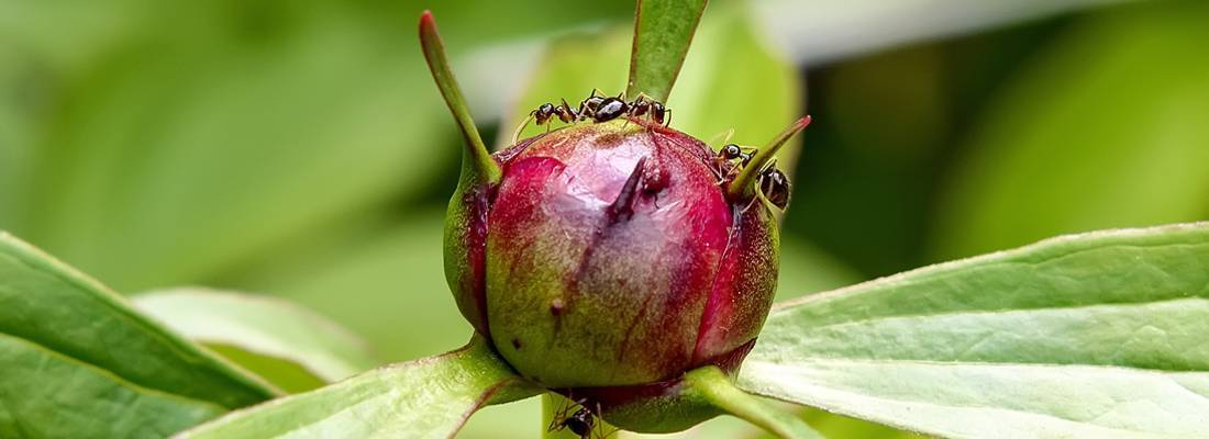 Что делать если в теплице появились муравьи