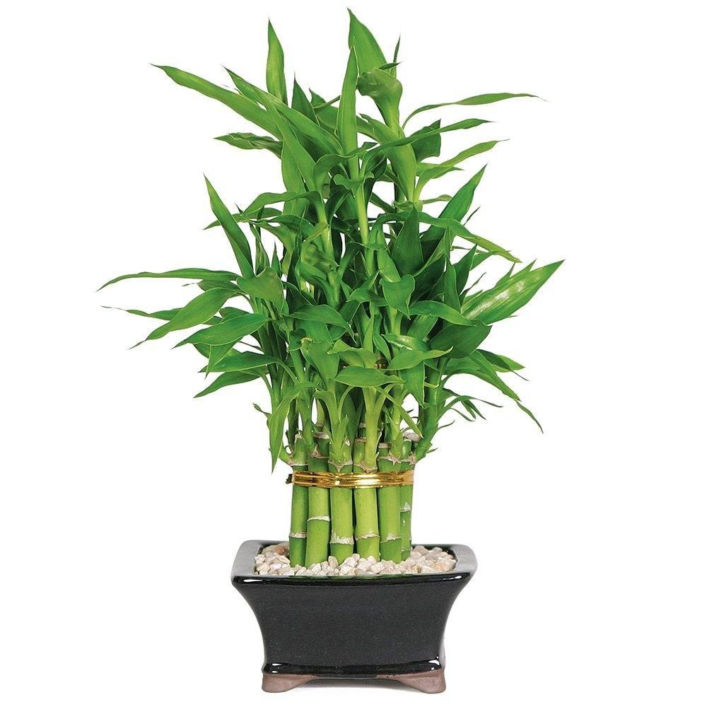 Бамбук: посадка и уход в открытом грунте, размножение, виды, фото