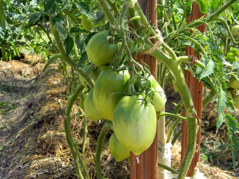 Как правильно формировать куст помидоров (томатов) в теплице