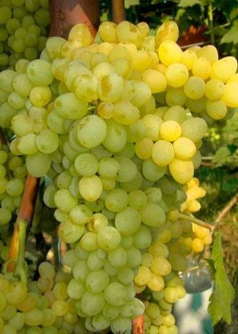 Польза и вред винограда при заболеваниях и диетах