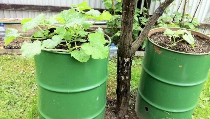 Совет садовода, как получить ранний урожай кабачков, фото