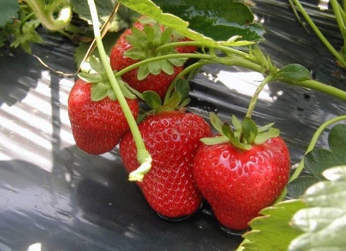 Клубника монтерей — описание сорта, фото, отзывы садоводов