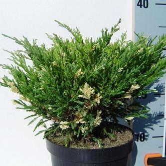 Можжевельник горизонтальный андорра компакт juniperus hor. 'andorra compact' c3,5 30-40 а