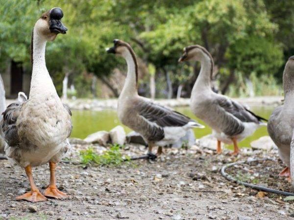 Породы гусей для наиболее выгодного бизнеса – описания, характеристики