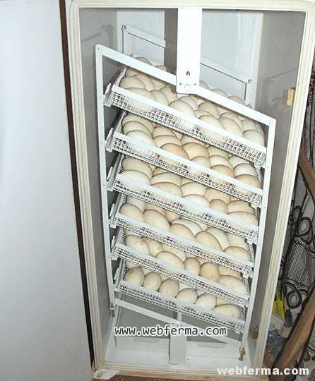 Инкубация куриных яиц от а до я: что ещё нужно знать?