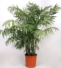 Хамедорея — правила ухода пальмой в домашних условиях