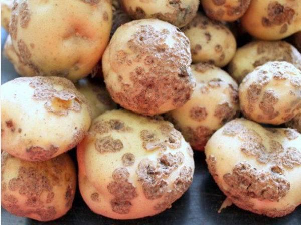 Болезни картофеля (ботвы и клубней): описание с фотографиями и способы лечения, профилактика, отзывы