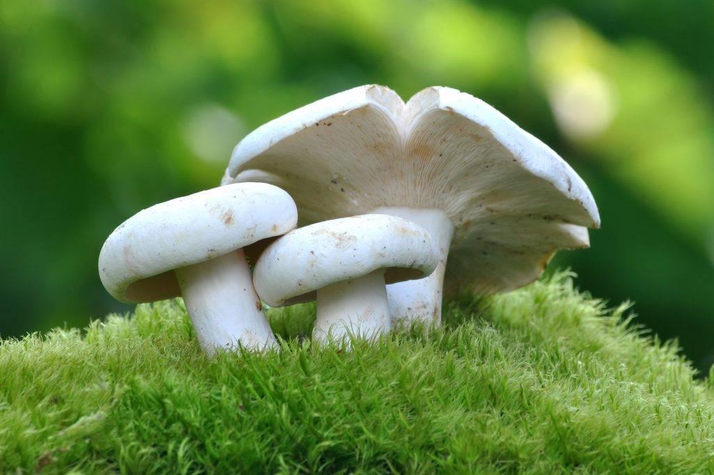 Гриб белый груздь: фото и описание, где растет и двойники