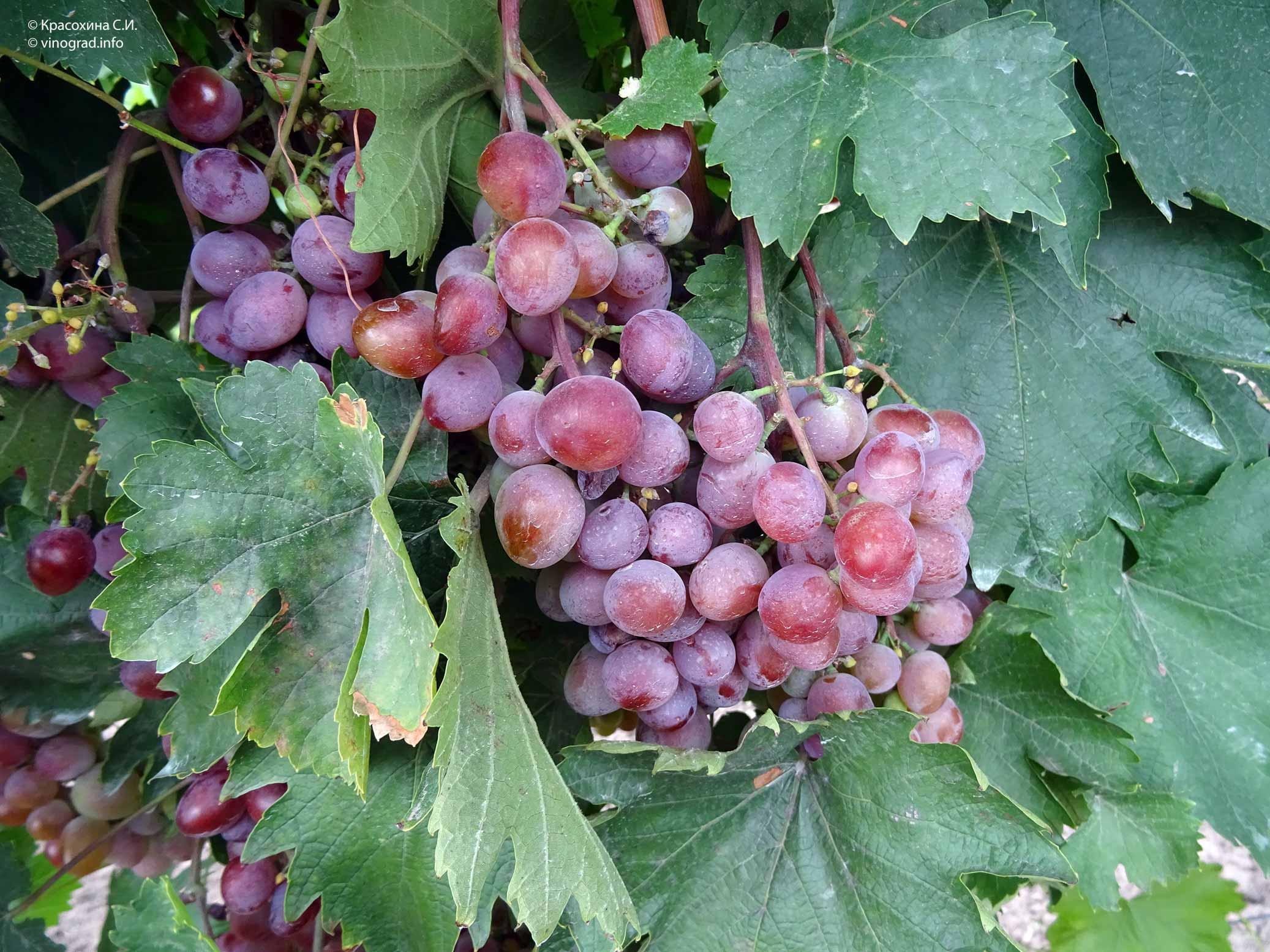 Виноград «виктория»: описание сорта, фото, отзывы