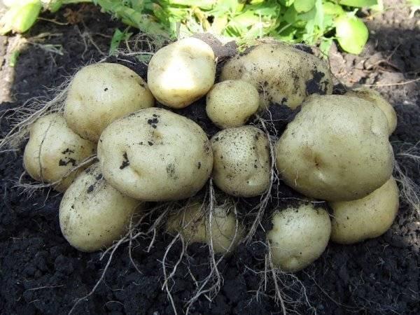 Картофель ласунок описание сорта, характеристика, фото русский фермер
