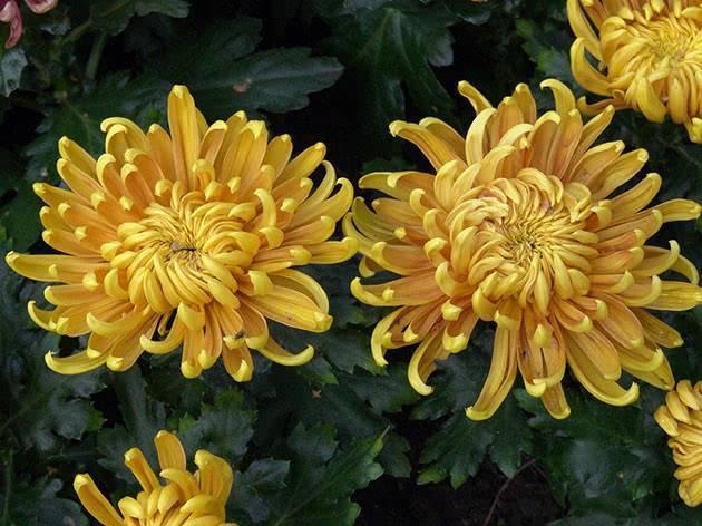 Хризантема: правила выращивания и ухода весной