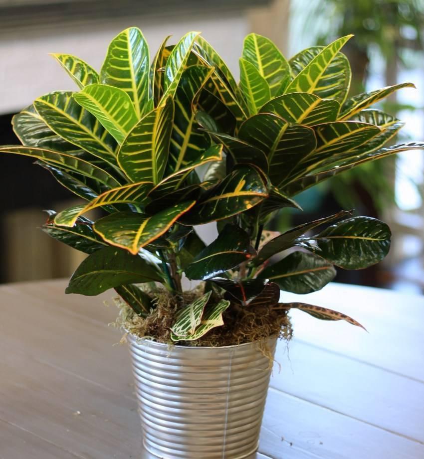Codiaeum. кротон - уход, фото, размножение, виды: кротон пестрый