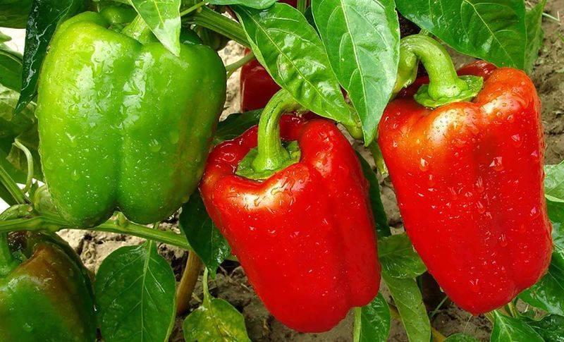 Выращивание рассады перца в домашних условиях, видео и фото