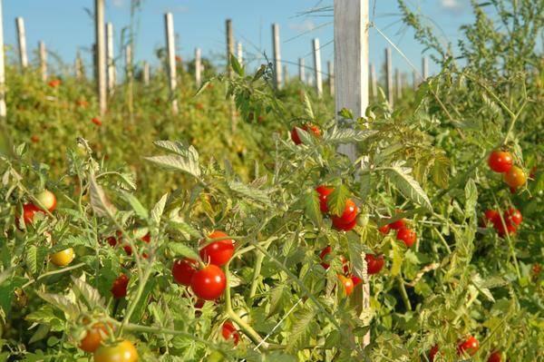 Низкорослые томаты для теплицы из поликарбоната: лучшие сорта