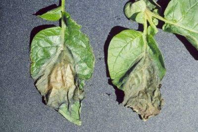 Вредители рассады баклажанов: фото и их лечение