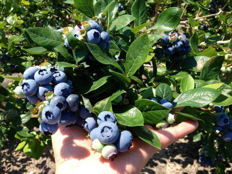 Описание черники и фото: как вырастить на садовом участке и ухаживать за культурой