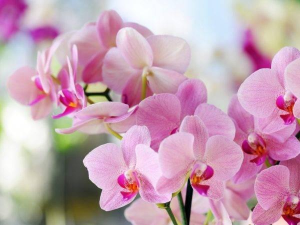 Описание розовой орхидеи