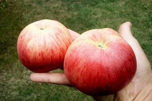 Описание сорта яблони память мичурина: фото яблок, важные характеристики, урожайность с дерева